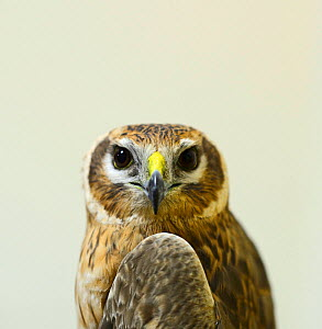 Pallid Harrier (Circus macrourus) adult female shot on Gozo, recovered by BirdLife Malta to be sent to Centro Recupero Fauna Selvatica, a wildlife rehabilitation centre in Sicily. BirdLife Malta Sprin...  -  David Tipling