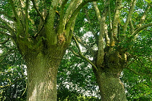 Two pollarded Ash trees (Fraxinus excelsior) Herefordshire, UK August  -  Will Watson