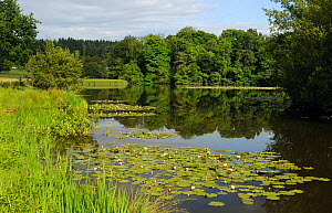 White Water lilies (Nymphaea alba) on National Trust Berrington Hall pool,  Herefordshire, UK, June 2012  -  Will Watson