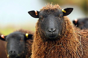 Black Welsh Mountain sheep portrait, Herefordshire, UK  -  Will Watson