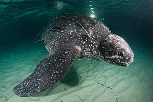 Leatherback sea turtle (Dermochelys coriacea) with scar at base of flipper, almost certainly caused by fishing gear, Caribbean Sea off Parque Nacional Jaragua, Dominican Republic, May  -  Doug Perrine