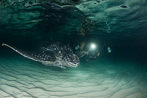 Diver photographing leatherback sea turtle, (Dermochelys coriacea) with injury at base of flipper, almost certainly caused by fishing gear, Parque Nacional Jaragua, Dominican Republic, Caribbean Sea....  -  Doug Perrine
