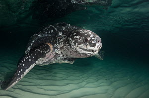 Leatherback sea turtle, (Dermochelys coriacea) with scarring around right flipper base, almost certainly from entanglement in fishing gear, Parque Nacional Jaragua, Dominican Republic, Caribbean Sea  -  Doug Perrine