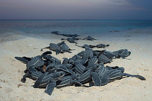 Leatherback sea turtle hatchlings (Dermochelys coriacea) emerging from nest after hatching, Playa Colita, Pedernales, Dominican Republic, Caribbean Sea, May  -  Doug Perrine