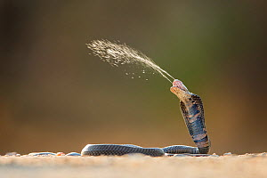 Mozambique Spitting Cobra (Naja mossambica) ejecting venom, Kruger, South South Africa, Controlled conditions  -  Guy Edwardes