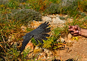 Cuckoo (Cuculus canorus) male had been shot being released back into the wild on Comino, during Birdlife Malta Springwatch Camp, Malta, April 2013  -  David Tipling