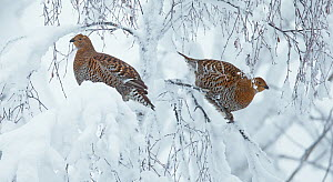 Two Black Grouse (Tetrao tetrix) hens in snowy tree, Kuusamo, Finland, January - Markus Varesvuo