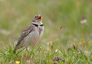 Calandra Lark (Melanocorypha calandra) singing, Spain, April  -  Markus Varesvuo