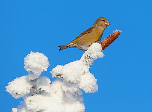 Common Crossbill (Loxia curvirostra) on top of a snowy tree with spruce cone, Kuusamo, Finland, February - Markus Varesvuo