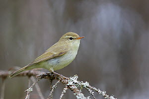 Greenish Warbler (Phylloscopus trochiloides) perched on branch, Puolanka, Finland, June - Markus Varesvuo