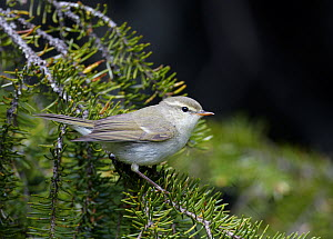 Greenish Warbler (Phylloscopus trocholoides) perched on conifer, Puolanka, Finland, June - Markus Varesvuo