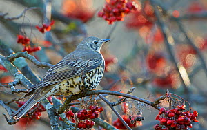 Mistle Thrush (Turdus viscivorus) perched on branch with red berries, Helsinki, Finland,  November - Markus Varesvuo