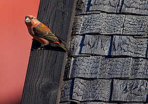 Parrot Crossbill (Loxia pytyopsittacus) on wood tiled roof, Uto, Finland,  September  -  Markus Varesvuo