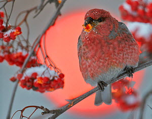 Pine Grosbeak (Pinicola enucleator) male feeding on berries with traffic light behind, Oulu, Finland, December - Markus Varesvuo