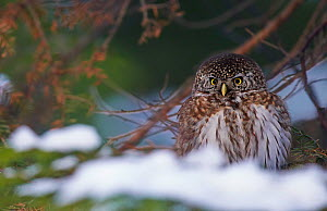 Pygmy Owl (Glaucidium passerinum) on ground, with snow, Helsinki, Finland, January  -  Markus Varesvuo