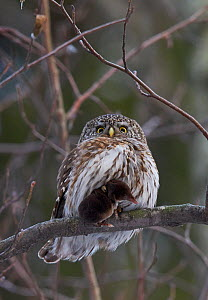 Pygmy Owl (glaucidium passerinum) with shrew prey, Helsinki, Finland,  January  -  Markus Varesvuo