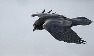 Raven (Corvus corax) in flight, Norway, April  -  Markus Varesvuo