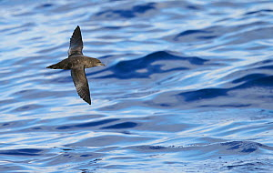 Sooty Shearwater (Puffinus Griseus) in flight over Atlantic ocean, Madeira, August  -  Markus Varesvuo