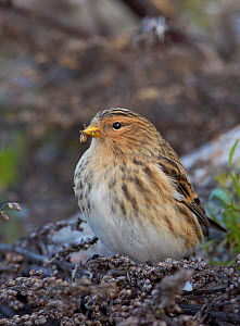 Twite (Carduelis flavirostris) on ground, Uto, Finland,  November  -  Markus Varesvuo