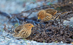 Twites (Carduelis flavirostris) on ground, Uto, Finland,  November  -  Markus Varesvuo