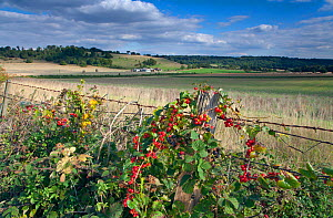 Down Farm from the Ridgeway Long Distance Path at Ivinghoe Beacon, with Black bryony (Tamus communis) and Bramble (Rubus sp) growing round fence, both with berries. Buckinghamshire, UK, September  -  Ernie Janes