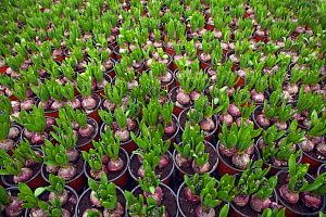 Garden centre with potted Hyacinth bulbs sprouting, Edgefield, Norfolk, January  -  Ernie Janes