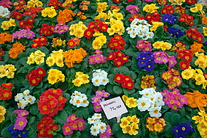 Potted Primroses for sale in garden centre, Edgefield, Norfolk, January  -  Ernie Janes