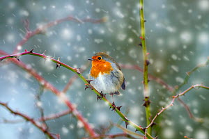 Robin (Erithacus rubecula) in snow, Titchwell, Norfolk, January. Image digitally manipulated to add more snow. - Ernie Janes