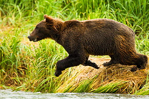 Grizzy bear (Ursus arctos horribilis) young male jumping into water to fish, Geographic Harbor, along the coastal Katmai National Park, South West Alaska, USA  -  Mary McDonald