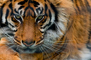 Sumatran tiger (Panthera tigris sumatrae) close-up head portrait, captive  -  Edwin  Giesbers