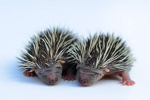 Hedgehogs (Erinaceus europaeus) one week old orphans at rescue centre, captive  -  Edwin Giesbers
