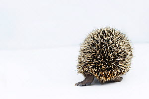 Hedgehog (Erinaceus europaeus) rear view of young orphan at rescue centre, captive - Edwin  Giesbers