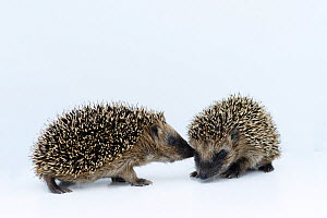 Hedgehogs (Erinaceus europaeus) young orphans sniffing one another at rescue centre, captive  -  Edwin Giesbers