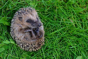 Hedgehog (Erinaceus europaeus) young orphan on back at rescue centre, captive  -  Edwin Giesbers