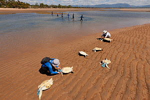 Volunteers cover the heads of newly caught green turtles with a pouch to calm them down while others sieve the water puddles for more turtles. Townsville, Queensland, Australia, August 2011 - Jurgen Freund