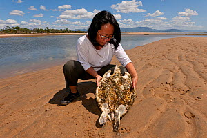 Stella Chiu Freund holds a staving green turtle (Chelonia mydas) overgrown with algae and barnacles. With the loss of seagrass beds due to floods and cyclone damage, turtles are starving all along the...  -  Jurgen Freund