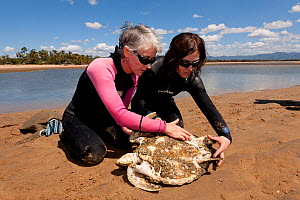 Dr. Ellen Ariel examing starving Green turtle (Chelonia mydas). With the loss of seagrass beds due to floods and cyclone damage, turtles are starving all along the coast of North Queensland. Townsvill...  -  Jurgen Freund