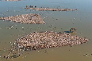Aerial of Australian Pelican (Pelecanus conspicillatus) breeding colonies on the islands of Lake Goyder, Coongie Lakes National Park, South Australia, June 2011  -  Jurgen Freund