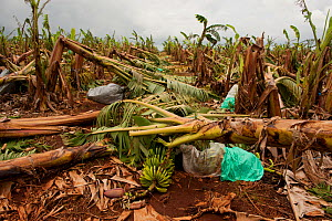 Banana farm after Cyclone Yasi, Innisfail, Queensland, Australia, February 2011  -  Jurgen Freund,Jurgen Freund