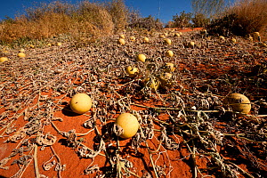 Paddy melon (Cucumis myriocarpus) growing in red sand dunes of the outback. It is a prostrate or climbing annual herb occurs in southern Africa and is a weed in Australia, South Australia, Australia - Jurgen Freund,Jurgen Freund