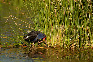 Purple Swamphen (Porphyrio porphyrio) in the wetlands of Muloorina Station near Lake Eyre South, South Australia, Australia  -  Jurgen Freund