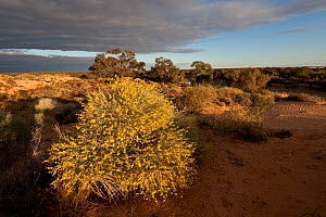 Wildflowers in sand dunes by Warburton River near Cowarie Station, South Australia - Jurgen Freund