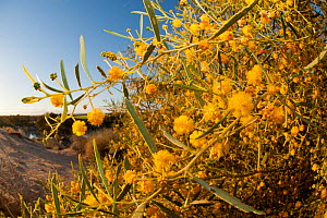 Yellow wattle (Acacia sp) flowers in sand dunes by Warburton River near Cowarie Station, South Australia - Jurgen Freund