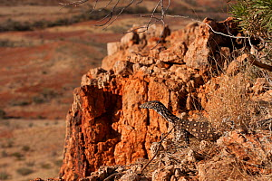 Juvenile Perentie monitor lizard (Varanus gigantus) on rocks in outback, South Australia, Australia - Jurgen Freund