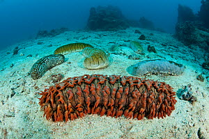 Various sea cucumbers including (Thelonota anax) on sandy sea floor. Sea cucumber  in foreground, Great Barrier Reef, Queensland, Australia  -  Jurgen Freund
