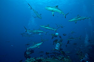 Sharks, mainly grey reef sharks (Carcharinus amblyrhynchos) feed at bait, North Horn, Osprey Reef, Coral Sea, January  -  Jurgen Freund