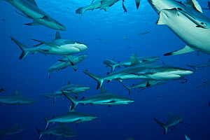 RF- Grey reef sharks (Carcharhinus amblyrhynchos) in Great Barrier Reef, Coral Sea, Queensland, Australia. (This image may be licensed either as rights managed or royalty free.)  -  Juergen Freund
