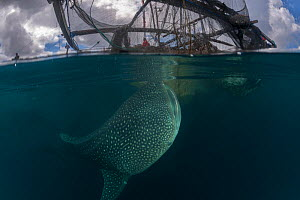 Whale shark (Rhincodon typus) near a fishing device called �Bagan�, a stationary outrigger boat, with a net between outriggers and strong light at night to attract anchovies and scad. The whale sharks... - Jurgen Freund