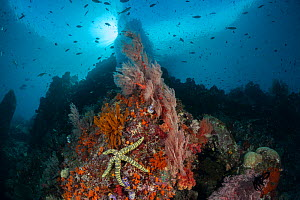 Raja Ampat coral reef with sea-star, Raja Ampat, West Papua, Indonesia - Jurgen Freund