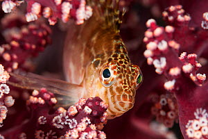 Spotted Hawkfish (Cirrhitichthys oxycephalus) on soft coral. Raja Ampat, West Papua, Indonesia  -  Jurgen Freund